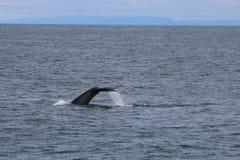 Buckel-Wal in Island Lizenzfreies Stockbild