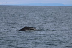 Buckel-Wal in Island Stockfotos