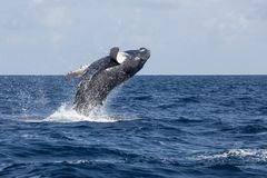 Buckel-Wal-Kalb-Brüche aus dem Ozean heraus stockfotografie