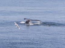 Buckel-Wal-Plattfische, die unten vorangehen Stockfotografie