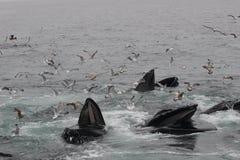 Buckel-Wale stürzen die Fütterung los, Münder sich öffnen weit umgeben durch Seemöwen Lizenzfreies Stockbild