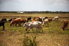 Buckelkühe lassen in den Wiesen von Sansibar weiden lizenzfreie stockbilder