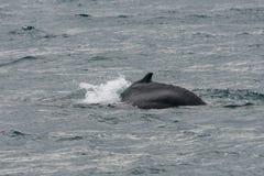 Buckelwal, der fertig wird zu tauchen stockfotos