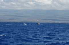 Buckelwal, der nahe Maui springt Stockbilder
