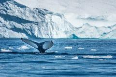 Buckelwale, die unter riesigen Eisbergen, Ilulissat, Greenla einziehen Lizenzfreie Stockbilder