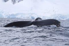 Buckelwalendstück, das in antarktisches Wasser taucht Lizenzfreie Stockbilder