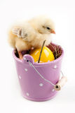 bucket детеныши цыпленока стоковая фотография
