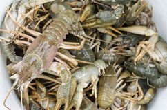 Bucket of alive freshwater crayfishes closeup. In sunny day Stock Images
