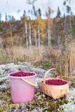 Bucket and basket with red bilberries on a moss in the Karelian forest, Russia stock photography