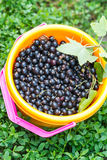 Bucket with a black currant Stock Photo