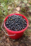 bucket blueberries Royalty Free Stock Photography