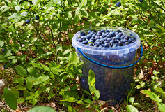 Bucket with blueberries Stock Images