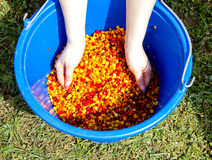 A bucket of boiled colored corn. For fishing stirred Stock Images