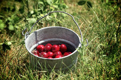 Bucket of Cherries Stock Photography