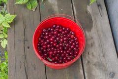 Bucket with cherries Stock Image