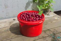 Bucket with cherries Stock Photo