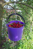 Bucket of cherries on a tree Stock Image