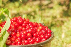 Bucket with cherry standing in the grass Stock Photography
