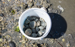 Bucket of Clams. A fresh bucket of clams gathered at low tide Stock Photo