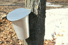 Bucket for collecting maple sap Royalty Free Stock Photos