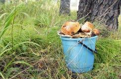 Bucket completamente dos grandes cogumelos na clareira da floresta Fotos de Stock Royalty Free