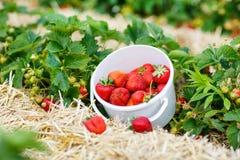 Bucket con le fragole mature fresche che stanno sull'azienda agricola Fotografie Stock