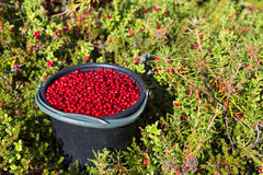 Bucket of cranberries in the forest Stock Image