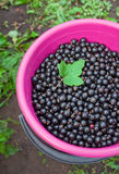 Bucket with currants Royalty Free Stock Photo