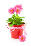Bucket with dahlia flowers Royalty Free Stock Photo