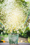 Bucket with daisies flowers on garden table over water spraying background Stock Photo