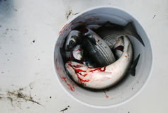 Bucket of fish (mullet). Bucket of mullet fish in a boat. Blood and mud are visible, as well as the fish, scales, eyes, fins, tails, etc. Seafood, anyone? Red Royalty Free Stock Images