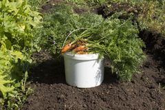 A bucket of fresh carrots with a tops stands Royalty Free Stock Images