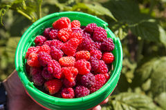 Bucket with fresh raspberries. Summer, Vitamins Stock Images