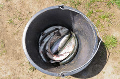 Bucket with freshly caught fish Royalty Free Stock Photo