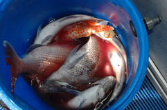 A bucket of freshly caught fish. Stock Photos