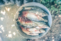 Bucket of freshly caught tilapia fish Stock Photo