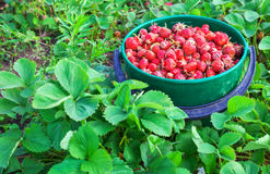 Bucket of freshly picked strawberries Royalty Free Stock Images