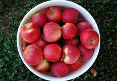 Bucket full of apples Royalty Free Stock Image