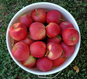 Bucket full of apples Stock Image