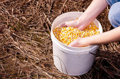 Bucket of corn Stock Photography