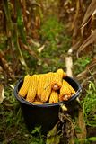 Bucket full of corn cobs Royalty Free Stock Images