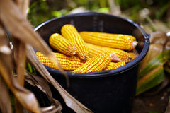 Bucket full of corn cobs Stock Photography