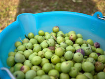 Bucket full of green olives Royalty Free Stock Photo