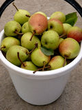Bucket full of pears Stock Photos