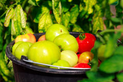 Bucket full of red and green tomatoes. Closeup shot of a bucket full of red and green tomatoes Royalty Free Stock Photo