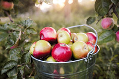 Bucket full of ripe apples in sunset Royalty Free Stock Photography