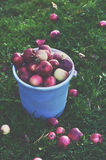 Bucket full of ripe red apples on green grass Royalty Free Stock Photography