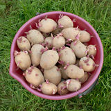 A bucket full of seed potatoes Stock Images