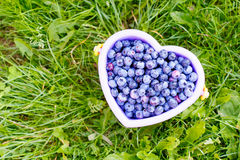 Bucket full of tasty healthy blueberries on green grass background. At self picking berry farm. Bucket as heart on organic field or plantation Stock Photos