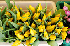 Bucket full of yellow tulips Royalty Free Stock Photo